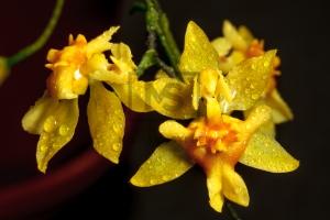 Oncidium Orchid Macro Shot