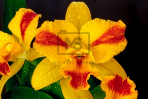 Cattleya Orchid with Macro Lens