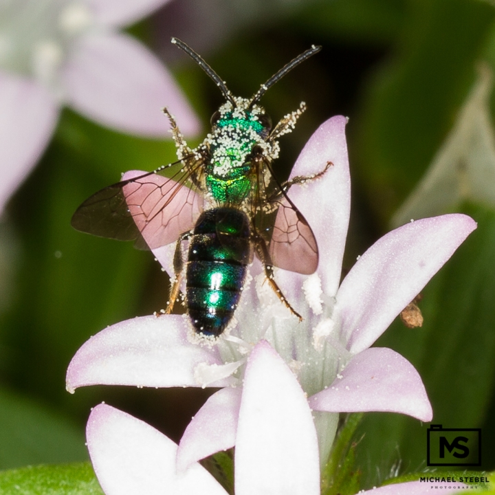 Green Wasp on Flower in the Everglades