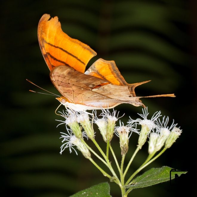 Daggerwing Butterfly in the Everglades