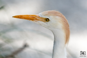 Cattle Egret Close-Up