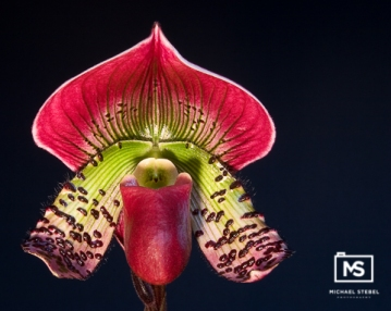 Paphiopedilum Orchid Close-up (HDRI)